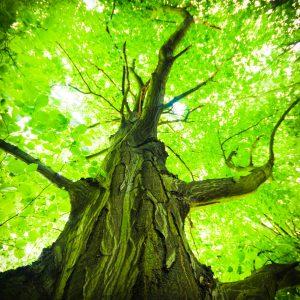 DRA TREE
